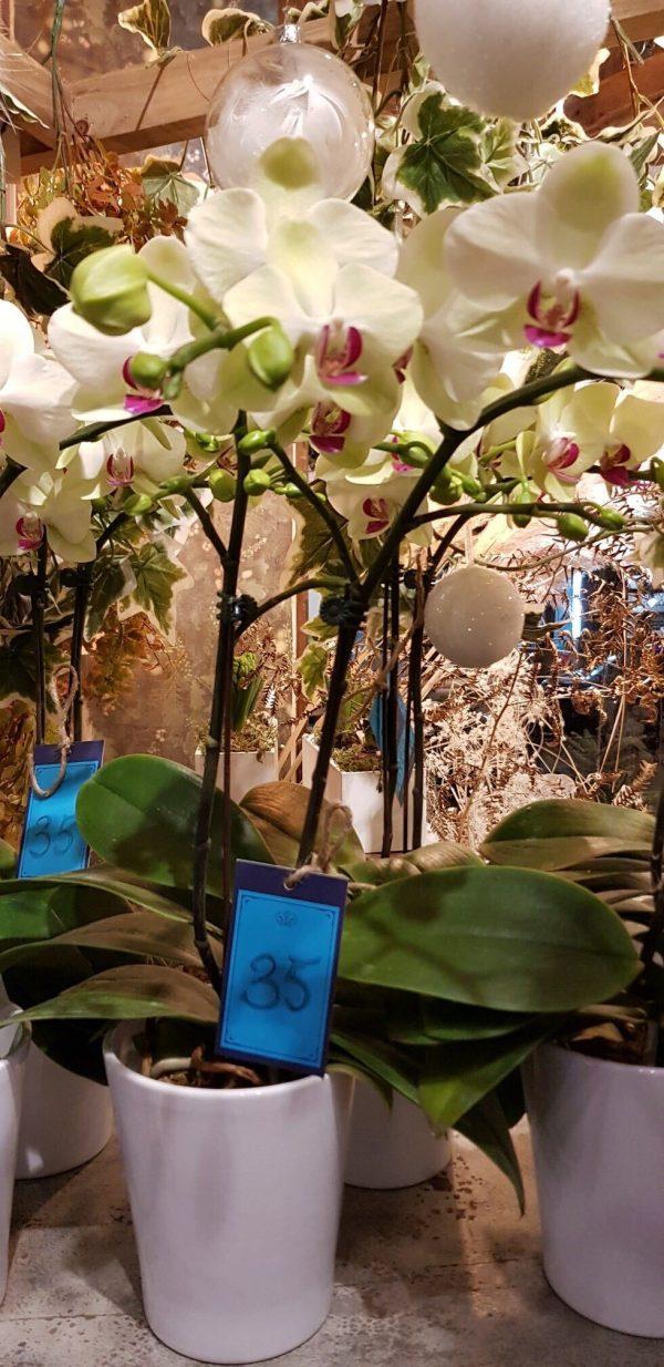 Phalaenopsis Rose et Crème